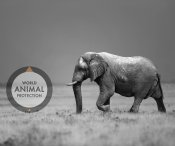 world animal protection elefant